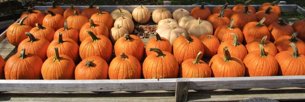 Pumpkins at Homestead Lambertville, NJ