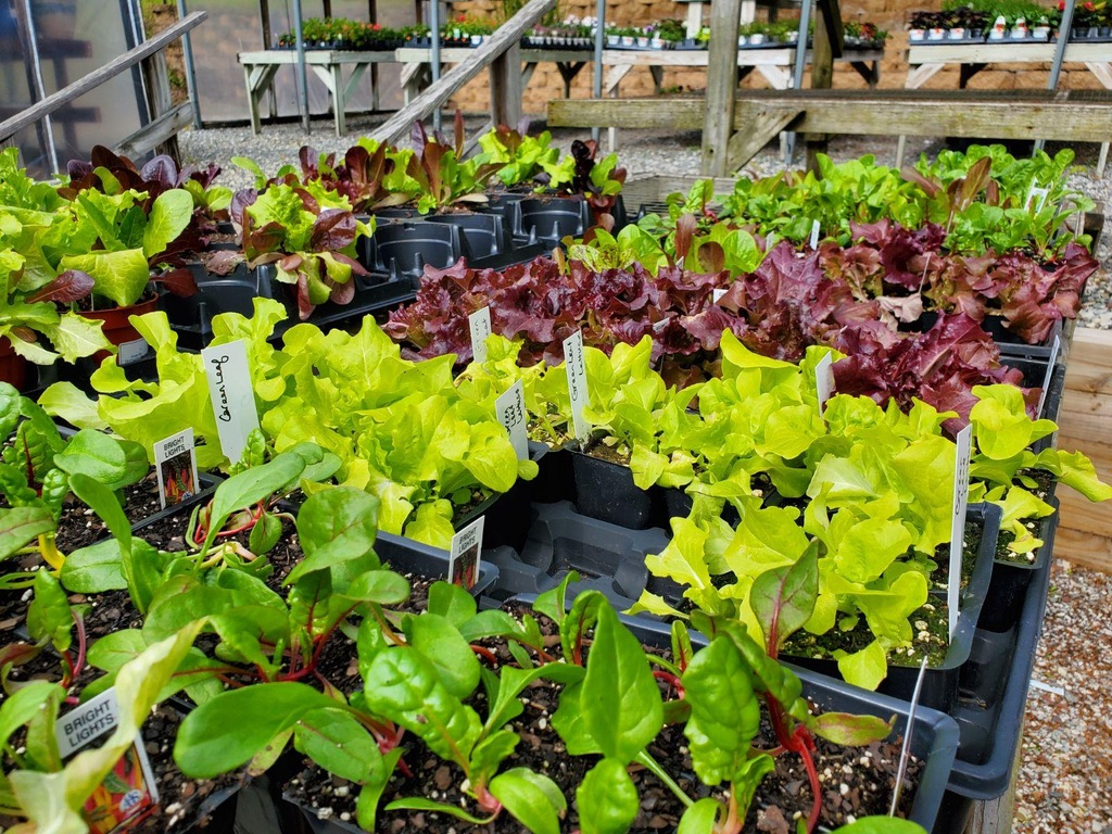 Homestead has homegrown lettuce plants you can buy