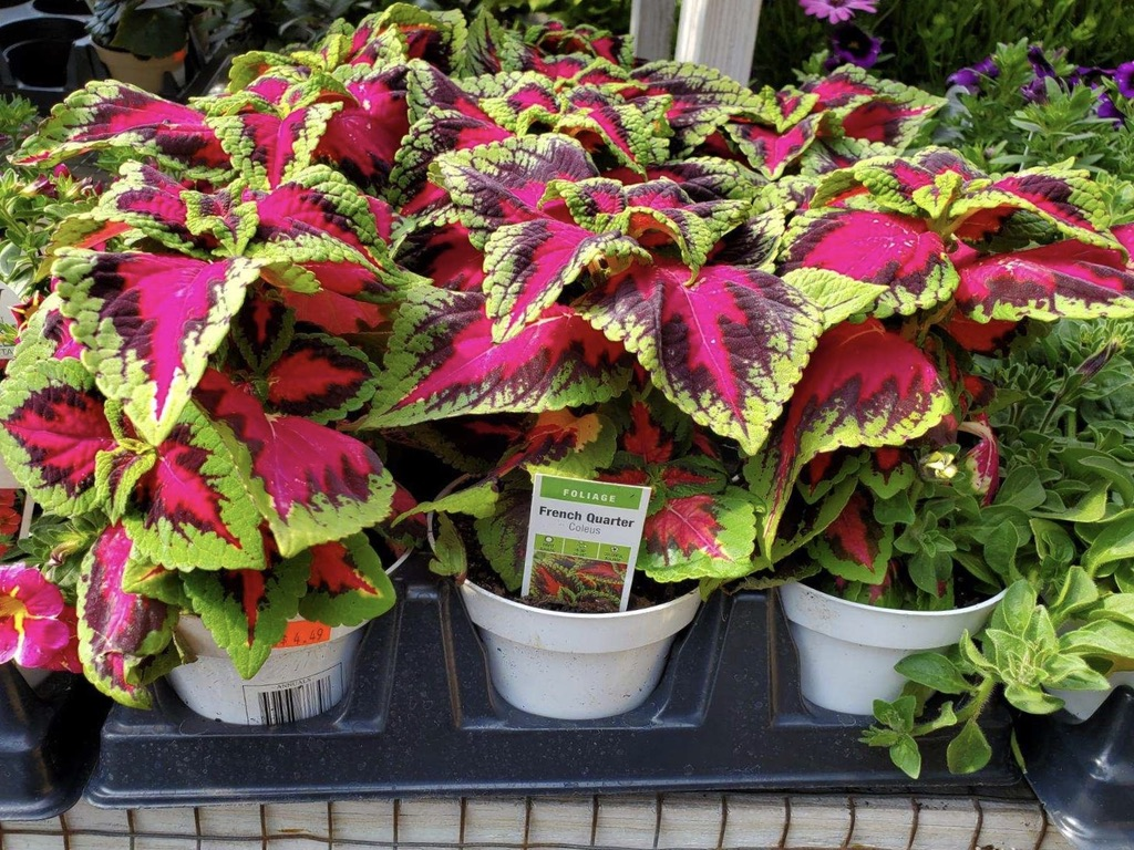 Homestead carries vibrant foliage for gardening